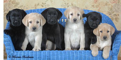 Golden Gate Labrador Retriever Club: How to pick a puppy!