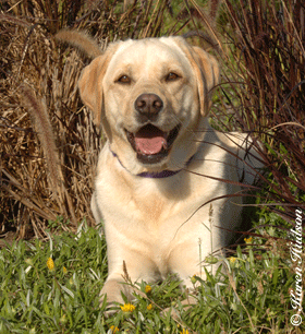 Welcome To The Golden Gate Labrador Retriever Club